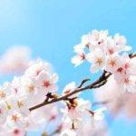 桜は調和と慶びをもたらす花。そして、弥勒の世へと導く力を持つ